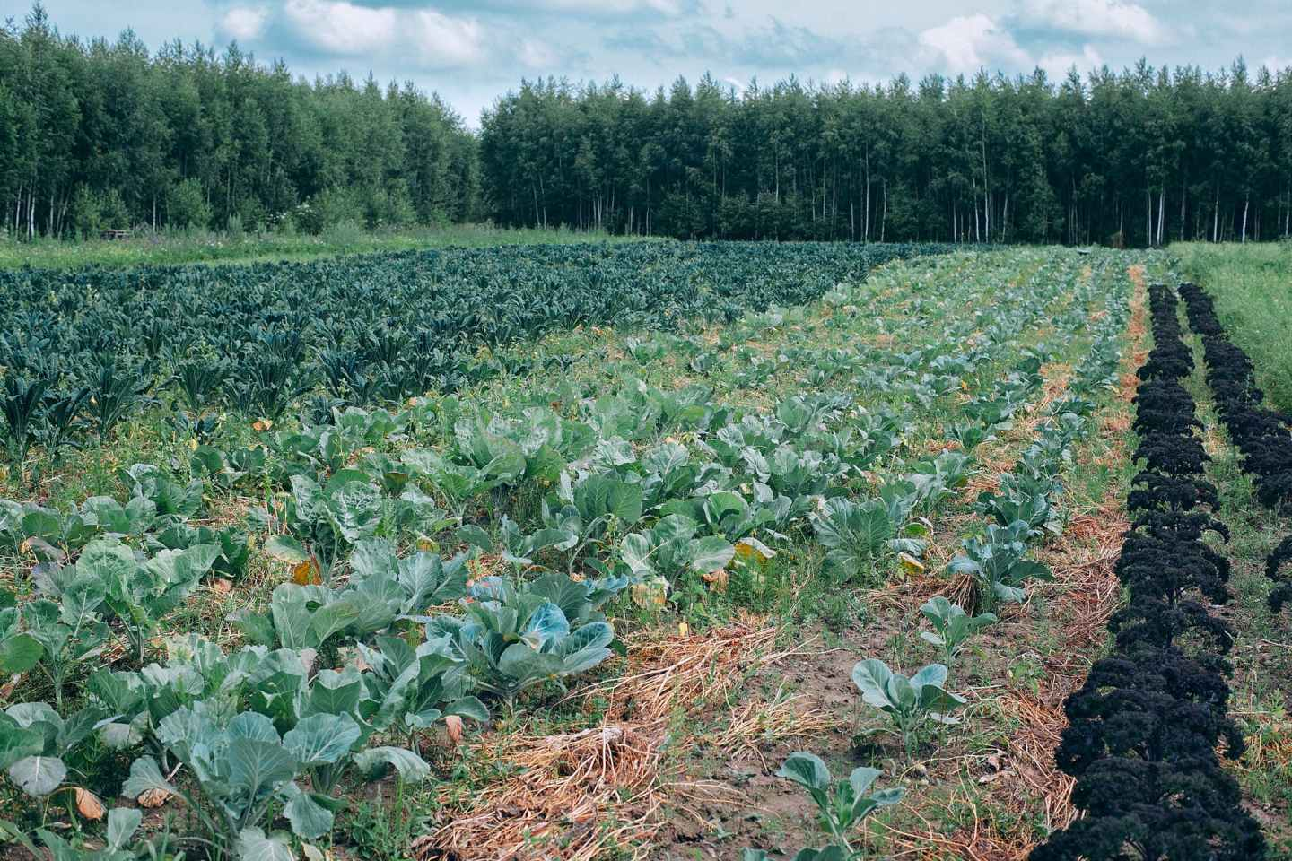 cabbage growing on agricultural field