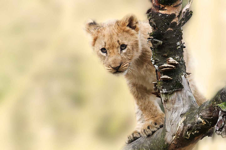 brown tiger on grey tree branch