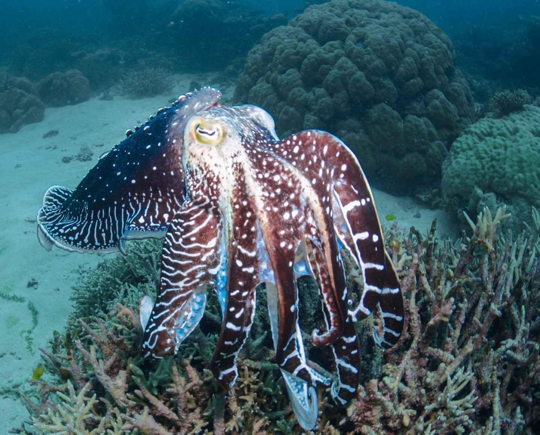 photo of cuttlefish underwater