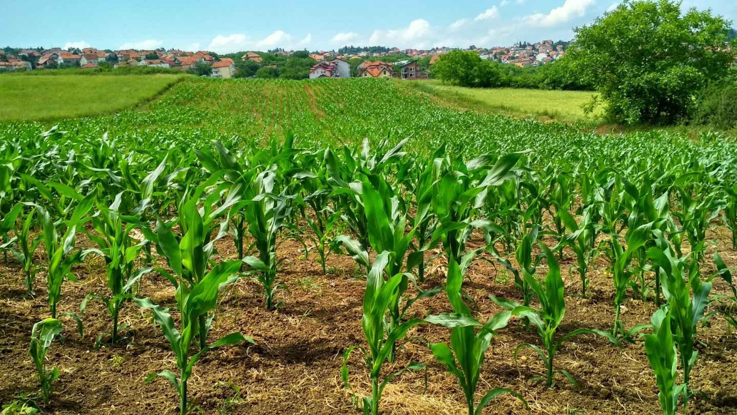 corn plant on field