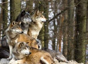 Wolves after reintroduction to Yellowstone National Park. Photo source: https://www.collegeofidaho.edu/blog/news/2013/03/25/c-i-host-author-wolf-expert-carter-niemeyer.