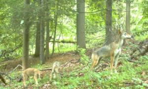 Mother and pups captured by stationary camera trap. Check out this video (https://www.youtube.com/watch?v=IE4qWYeIDBA) of these same animals and more photos here (https://www.gothamcoyote.com/p/pictures-video.html). Photo Credit: Gotham Coyote Project.