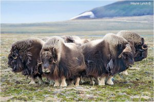 A musk ox herd in a defensive position (Photo credit:https://www.canadiannaturephotographer.com/waynelynch4.html).
