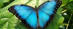 The blue morpho butterfly with wings open (Photo credit:https://www.rainforest-alliance.org/kids/species-profiles/blue-butterfly).