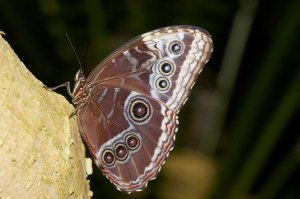 The blue morpho butterfly with wings closed (Photo credit:https://www.earthrangers.com/wildwire/this-just-in/colours-of-a-biome-tropical-rainforest-edition/).