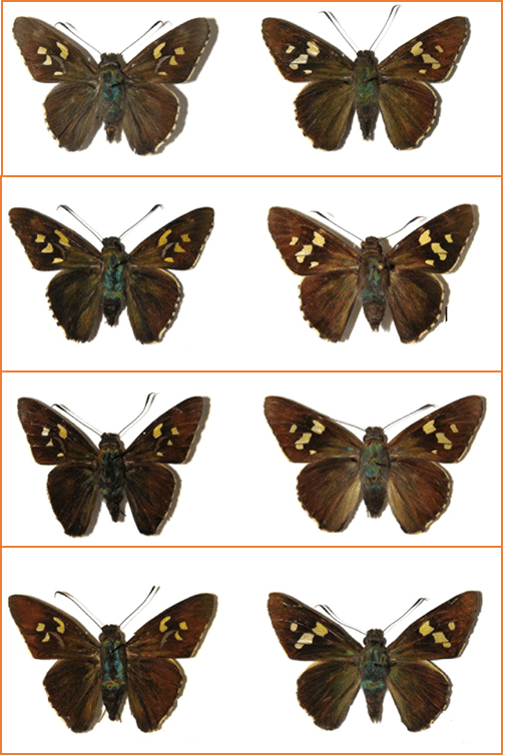 hesperidae grouped