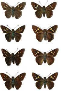 hesperidae