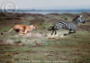 A lion chasing a zebra (Photo credit: https://gallery4share.com).