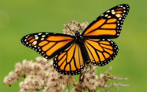 A monarch butterfly with its bright warning coloration (Photo credit:https://en.wikipedia.org/wiki/Monarch_butterfly).