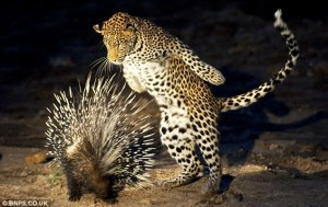 porqupine & leopard:https://www.dailymail.co.uk/news/article-1248144/Young-leopard-gets-prickly-reception-tries-eat-porcupine.html