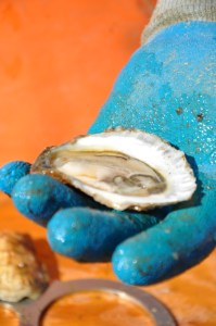 Oyster on a half shell. Oysters are bivalve mollusks that are coveted by humans for their flavor and also play a vital role in their habitat.