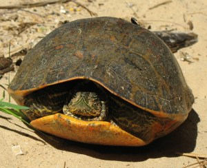 turtle:https://commons.wikimedia.org/wiki/File:Alabama_red-bellied_turtle_US_FWS_cropped.jpg