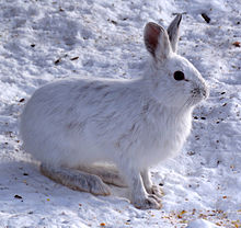 """The snowshoe hare (Lepus americanus) in winter (Photo credit:""""Snowshoe Hare, Shirleys Bay"""" by D. Gordon E. Robertson - Own work. Licensed under CC BY-SA 3.0 via Wikimedia Commons - https://commons.wikimedia.org/wiki/File:Snowshoe_Hare,_Shirleys_Bay.jpg#/media/File:Snowshoe_Hare,_Shirleys_Bay.jpg)."""