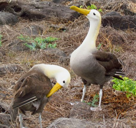 """Waved albatross (Phoebastria irrorata). From: """"Waved Albatross pair"""" by D. Gordon E. Robertson - Own work. Licensed under CC BY-SA 3.0 via Commons - https://commons.wikimedia.org/wiki/File:Waved_Albatross_pair.jpg#/media/File: Waved_Albatross_pair.jpg"""