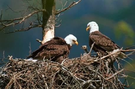 Bald Eagles (Haliaeetus leucocephalus) with their chick. From: https://naturedocumentaries.org/wp-content/uploads/2013/03/bald-eagles-with-chick.jpg