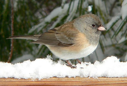 Female dark-eyed junco (Junco hyemalis). From: https://www.allaboutbirds.org/guide/PHOTO/LARGE/dark_eyed_junco_7.jpg