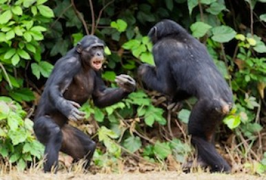 Bonobos (Pan paniscus) playing. https://greatergood.berkeley.edu/images/uploads/playful-bonobos.jpg