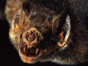 Vampire bats have incerdibly sharp teeth. Most anmials do even notice the bite. Credit National Geographic/Bruce Dale