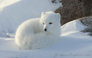 Arctic fox camouflaged in the snow. Photo credit; Nona Graphics (https://meowmixajhs.pbworks.com/w/page/45783526/Arctic%20Fox)
