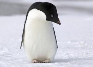 Adelie penguin. Photo credit:https://www.livescience.com/32495-why-dont-penguin-feet-freeze-on-ice.html (Photo credit:sxc.hu | blink_dg)