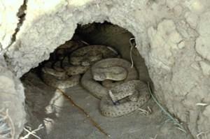 Image credit:https://www.carcnet.ca/english/reptiles/species_accounts/snakes/C_viridis/viridis2.php