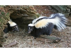 Image credit:https://patch.com/illinois/evanston/how-get-rid-skunks-animal-control-offers-tips-0