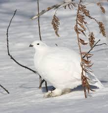 Willow grouse: Guy Poisson (https://ibc.lynxeds.com/photo/willow-grouse-lagopus-lagopus/snow)