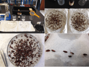 Top left: The fruit flesh is removed and the seed is washed and dried. Top right and bottom left: Seeds are then longitudinally dissected and submerged in a 1% solution of tetrazolium chloride. Bottom right: seed tissue that is stained red is viable while those that are partially stained or not stained are abnormal or non-viable.