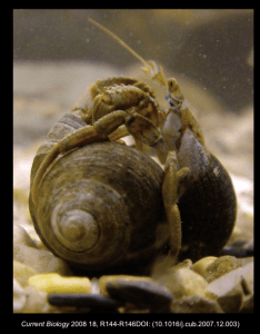 Fighting hermit crabs