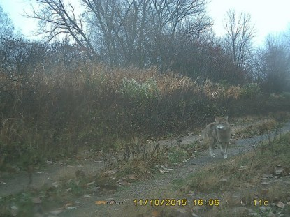 This is a coyote. Photo: Claus Holzapfel's trap camera