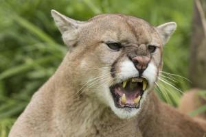 I have an irrational fear of being eaten by a mountain lion at any moment.