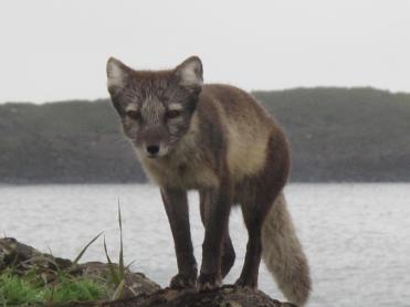 Arctic fox (Alopex lagopus) with brown fur. Photo from: http://www.gi.alaska.edu/alaska-science-forum/rabies-endures-help-arctic-fox
