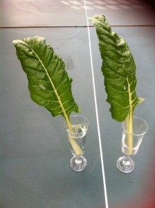 silverbeet refraction 2
