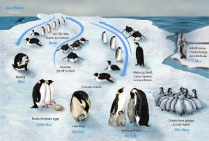 penguin_lifecycle_h