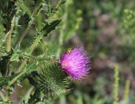 thistle and beetle