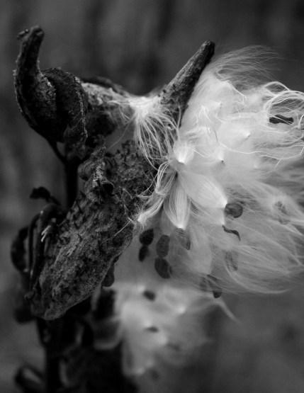 late milkweed