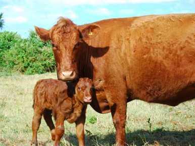 New calf Moo