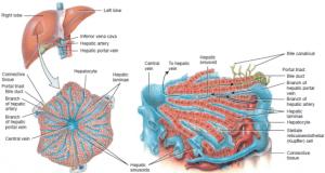 AnatomyDigestive System  Science Olympiad Student Center Wiki