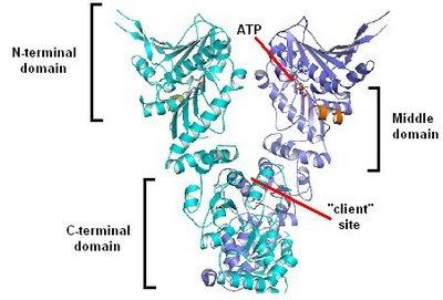 Hsp90 structure