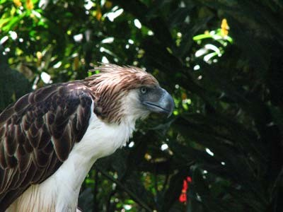 Philippine Eagle on Wikipedia