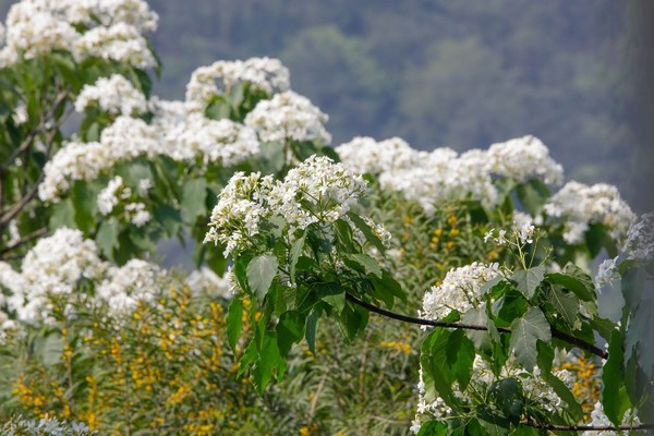 Tung trees are already blossoming at the Tianzhu Mountain Scenic Spot in Haicang District.