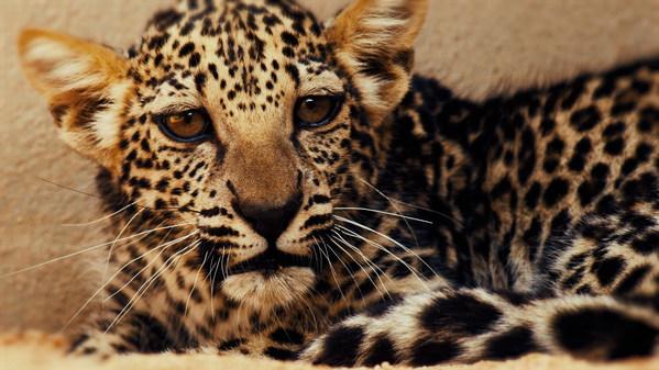 The Arabian Leopard Cub