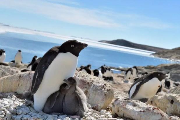 Adelie Penguins Lutzow Holm Bay