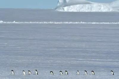 Adelie Penguins Lutzow Holm Bay Antarctica