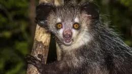 Aye aye Nocturnal Lemur of Madagascar