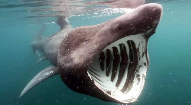 Резултат со слика за basking shark