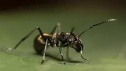 Black Ant Macro