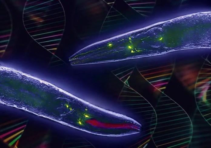 Caenorhabditis elegans Worm Genetics