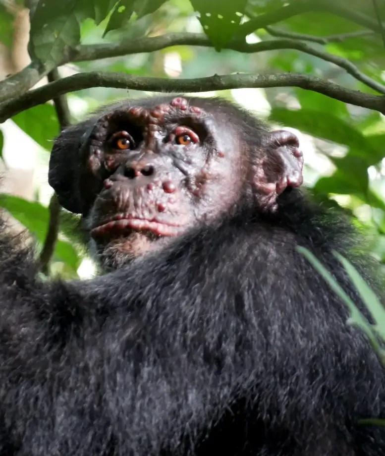 Chimpanzee With Leprosy Ivory Coast