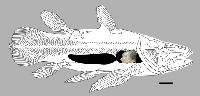 Coelacanth Lung